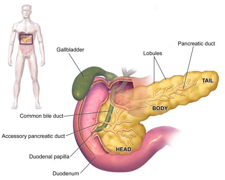 pancreas .png